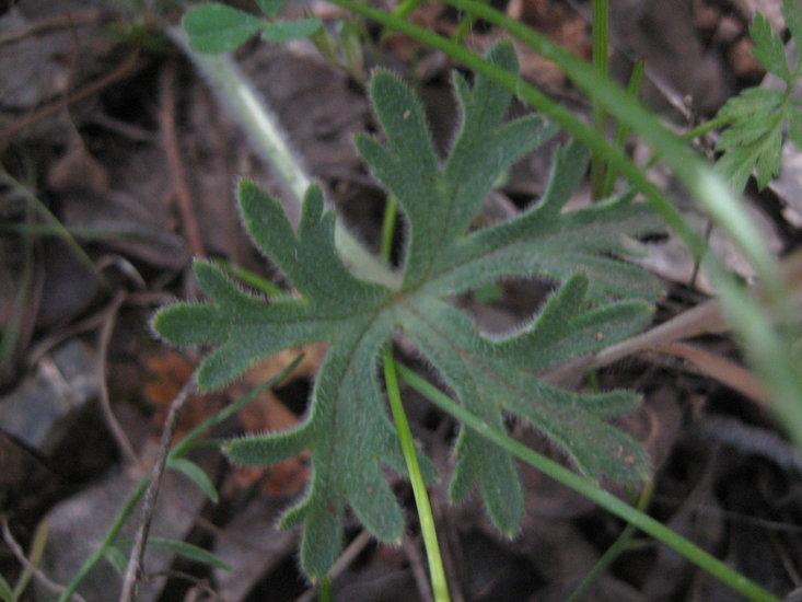 Delphinium variegatum