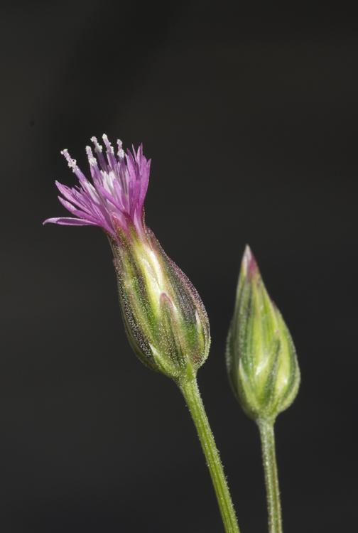 Crupina vulgaris