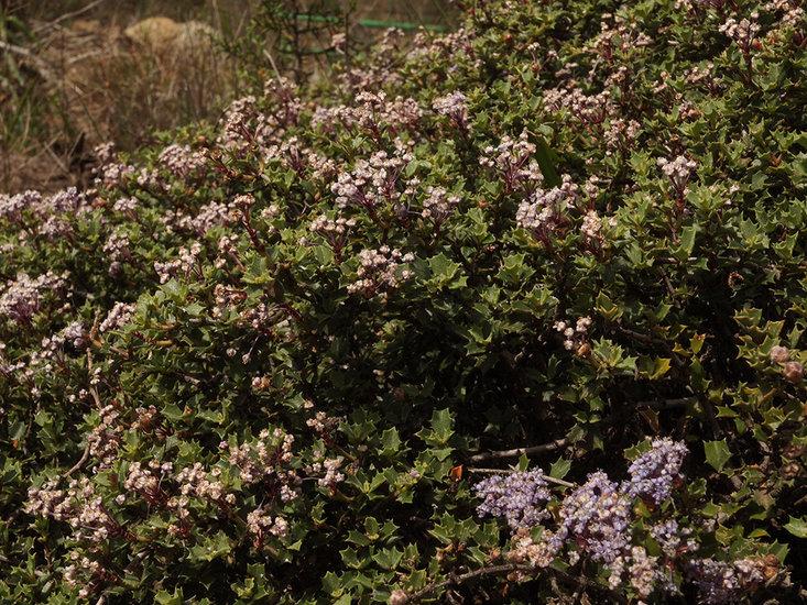 Ceanothus sonomensis