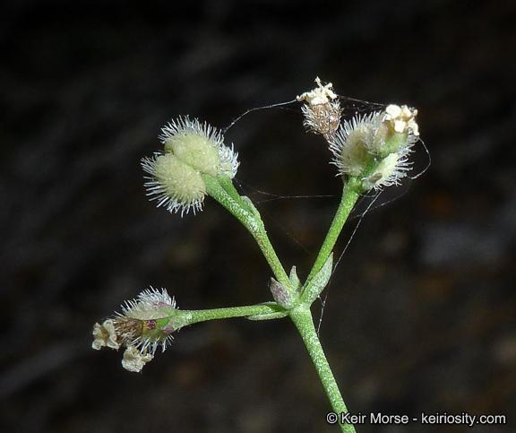 Galium jepsonii