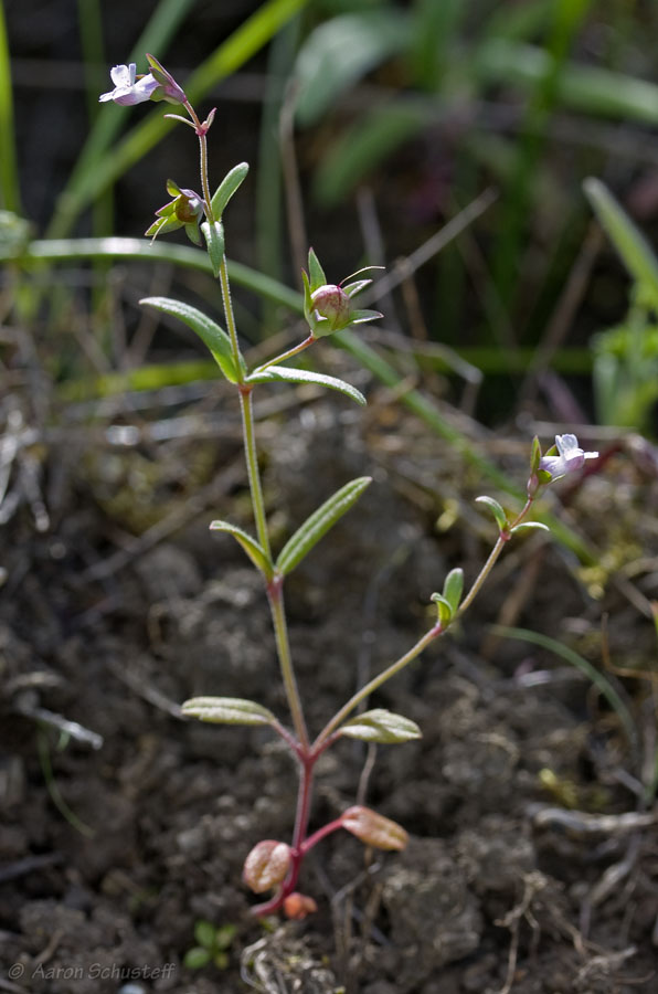 Collinsia sparsiflora