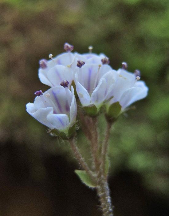 Synthyris cordata