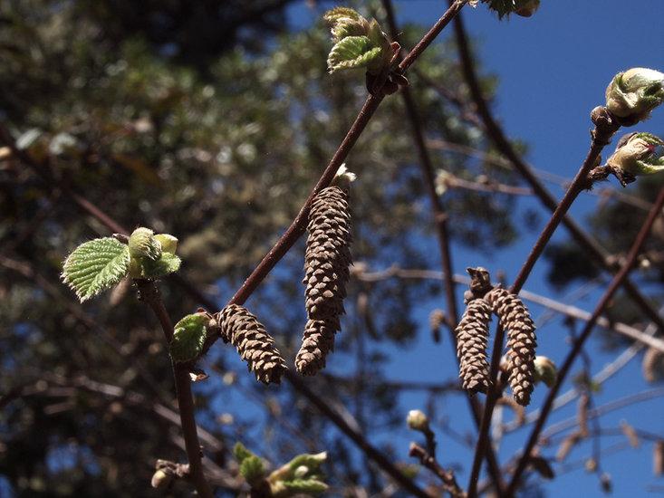 Corylus cornuta ssp. californica