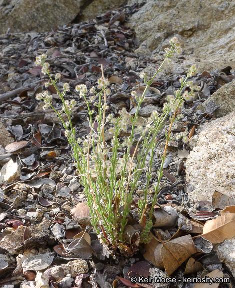 Galium angustifolium ssp. nudicaule