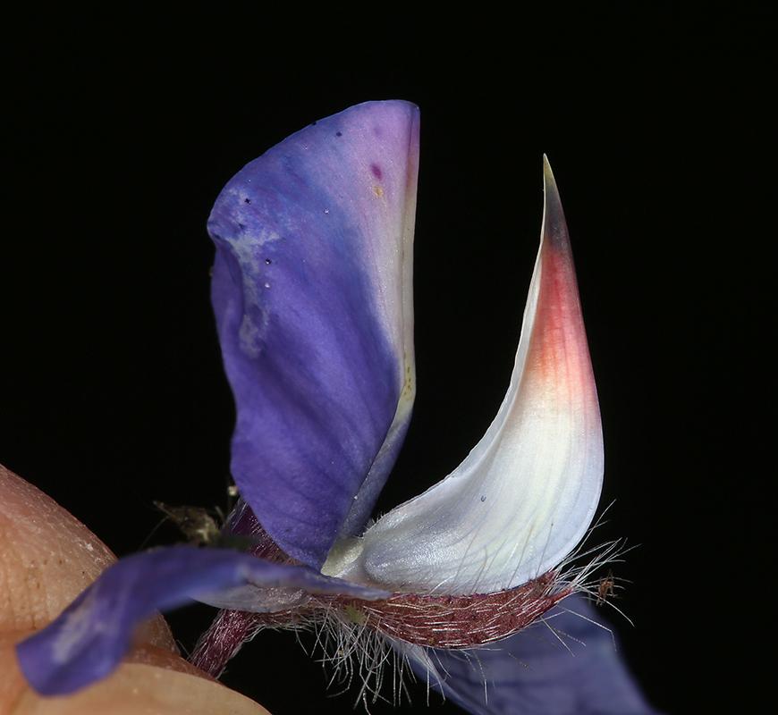 Lupinus benthamii