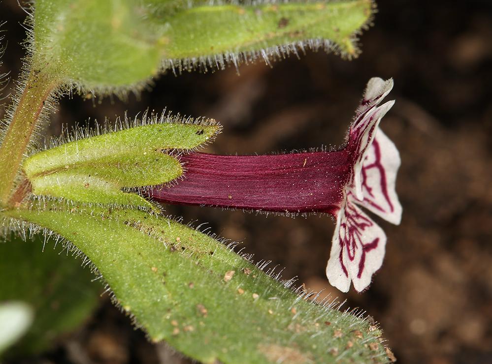 Mimulus pictus