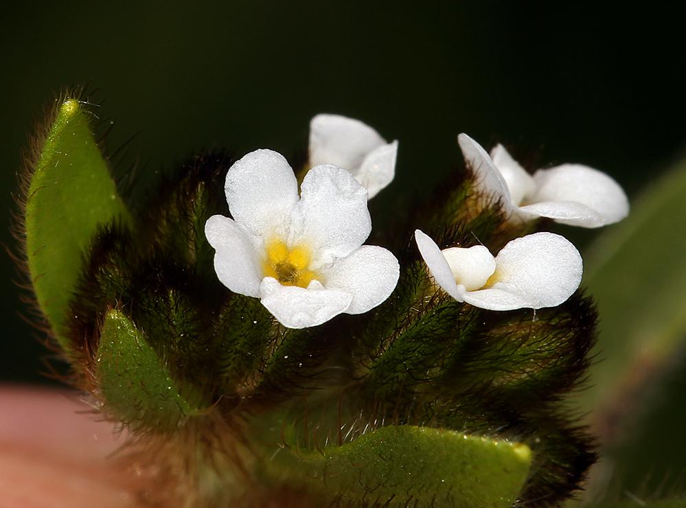 Plagiobothrys fulvus var. campestris