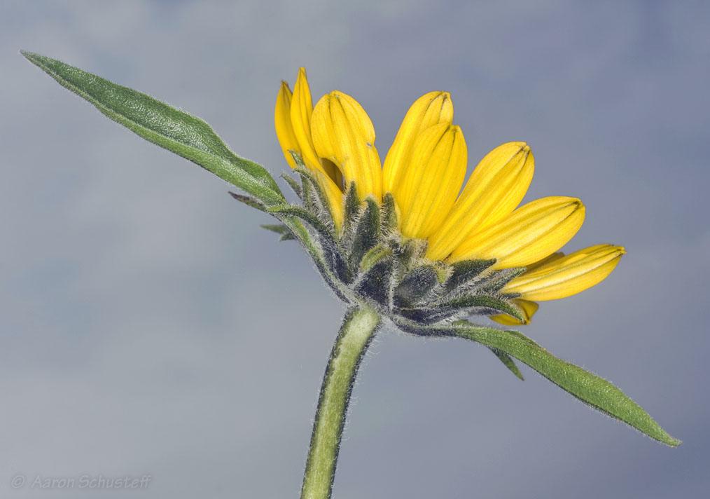 Helianthella castanea