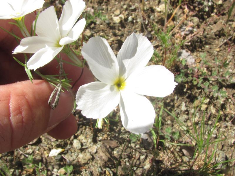 Linanthus dichotomus ssp. meridianus
