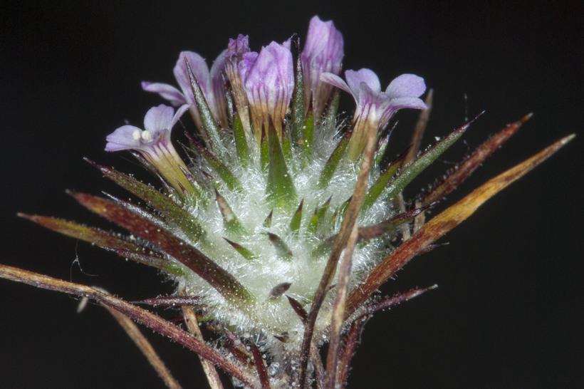 Navarretia crystallina