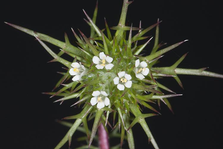 Navarretia paradoxinota
