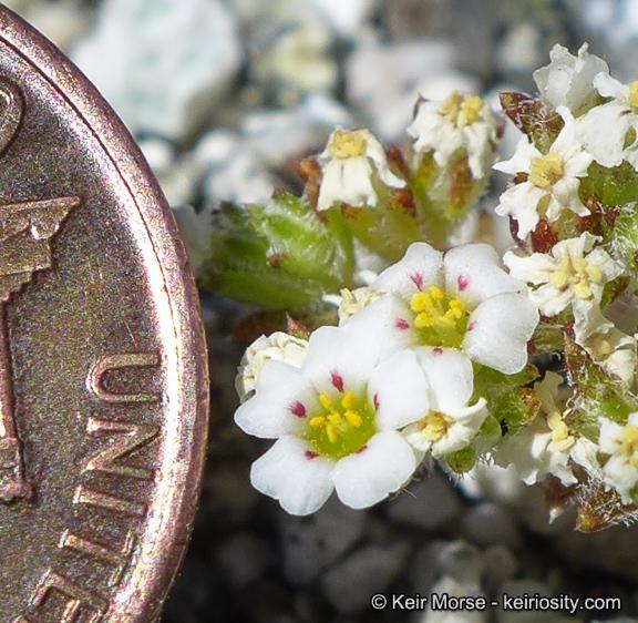 Linanthus maculatus ssp. maculatus