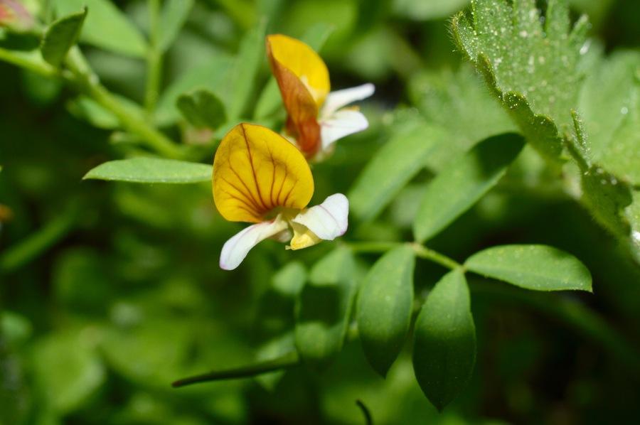 Hosackia oblongifolia var. cuprea