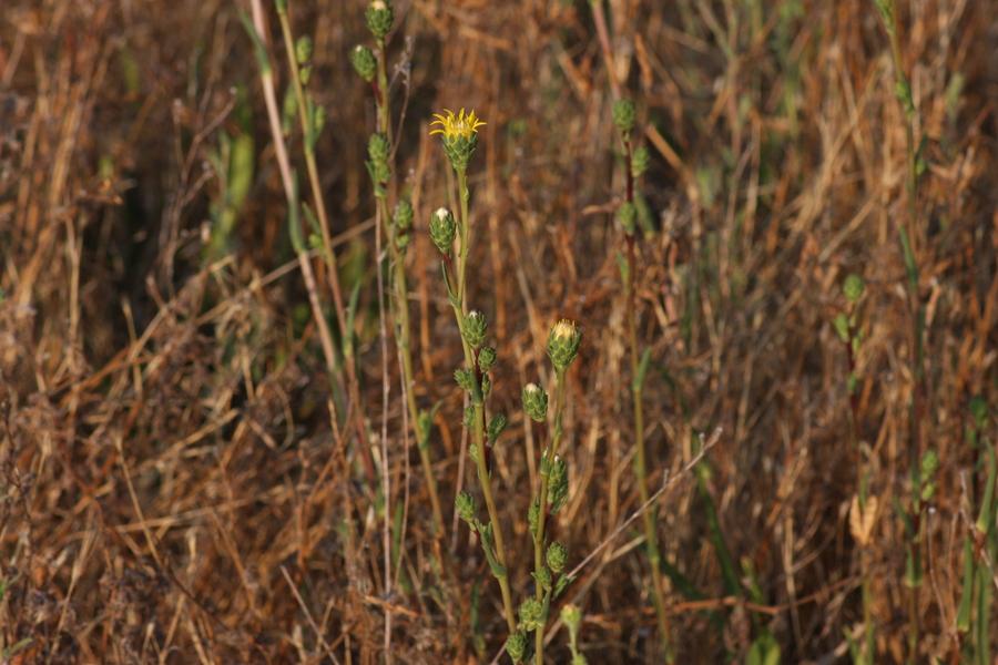 Pyrrocoma racemosa var. racemosa