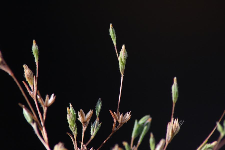 Pentachaeta alsinoides