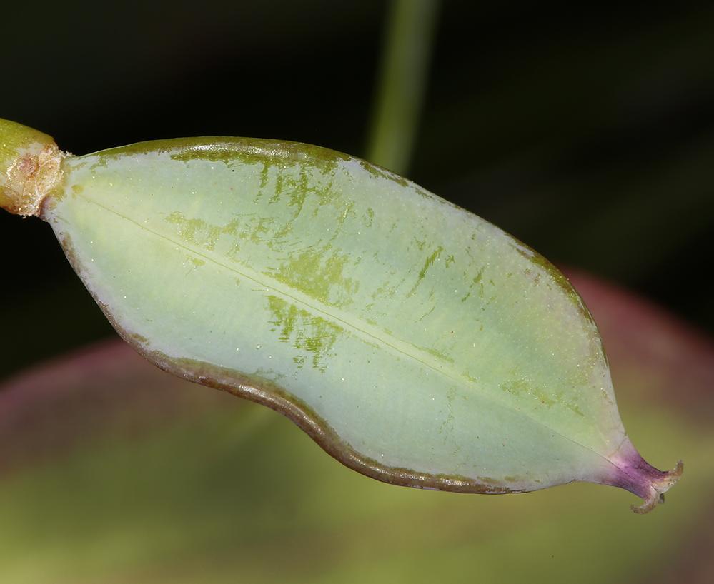 Calochortus pulchellus