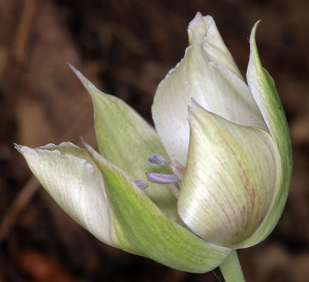 Calochortus umbellatus