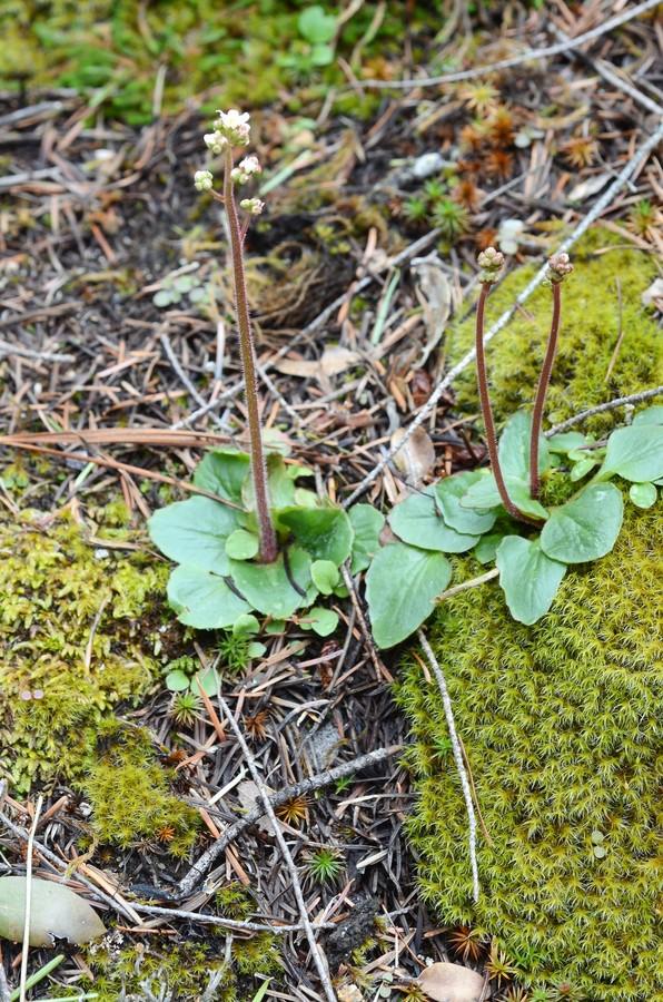 Micranthes fragosa