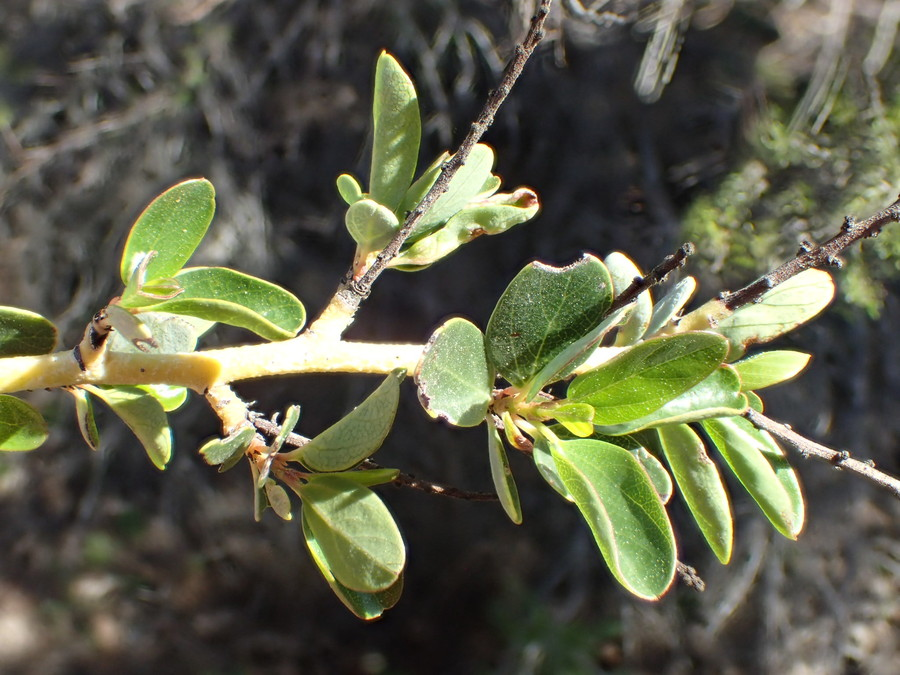 Ceanothus pendletonensis