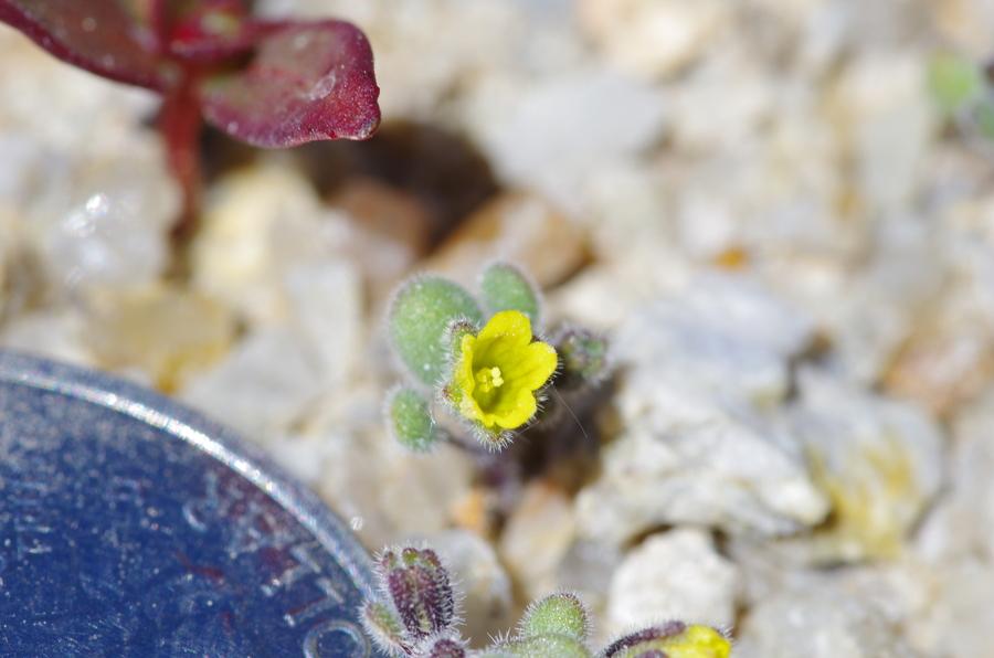 Phacelia inyoensis