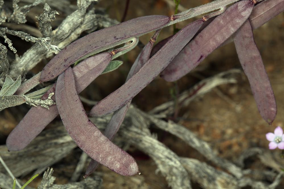 Boechera glaucovalvula