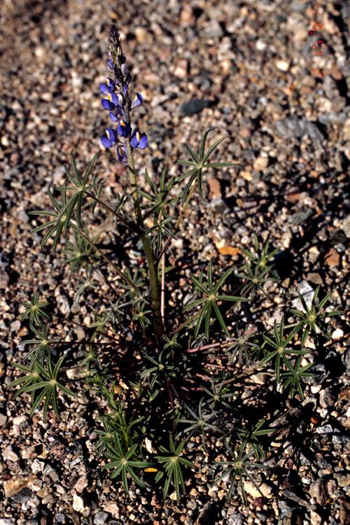 Lupinus sparsiflorus ssp. mohavensis