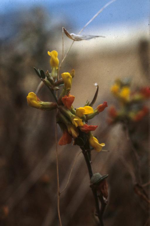 Lotus dendroideus var. traskiae