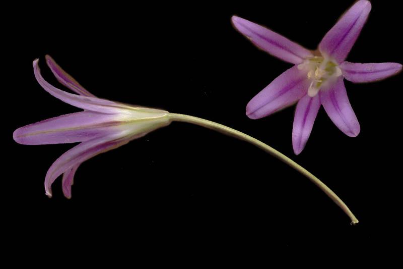 Brodiaea elegans ssp. elegans