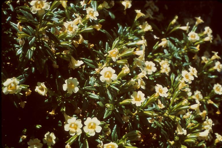 Mimulus aridus