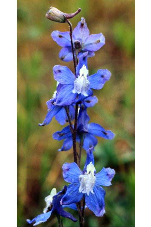 Delphinium parryi ssp. blochmaniae