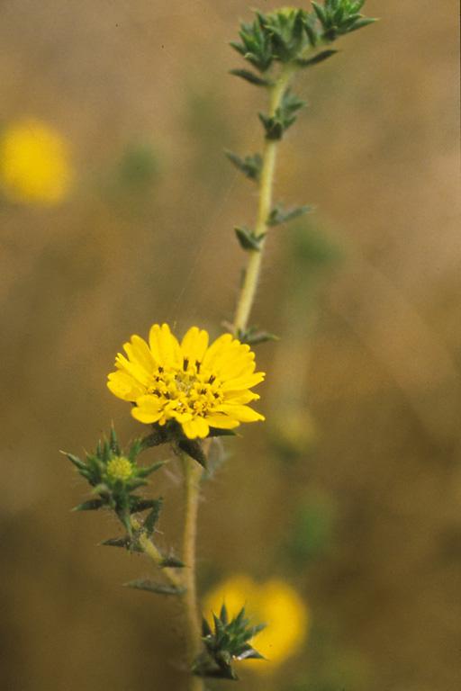 Centromadia parryi ssp. australis