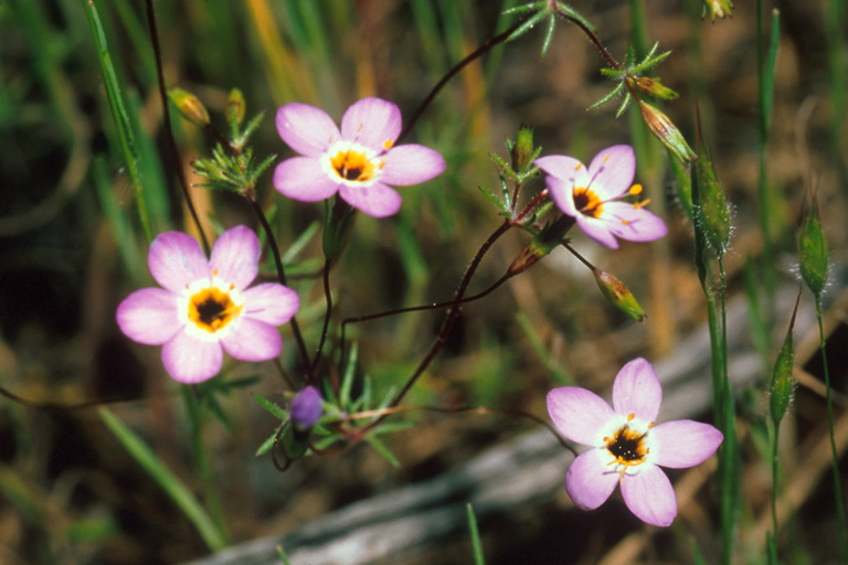 Linanthus ambiguus