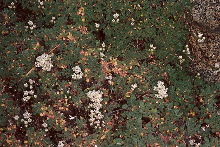 Eriogonum breedlovei var. shevockii