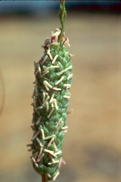 Neostapfia colusana