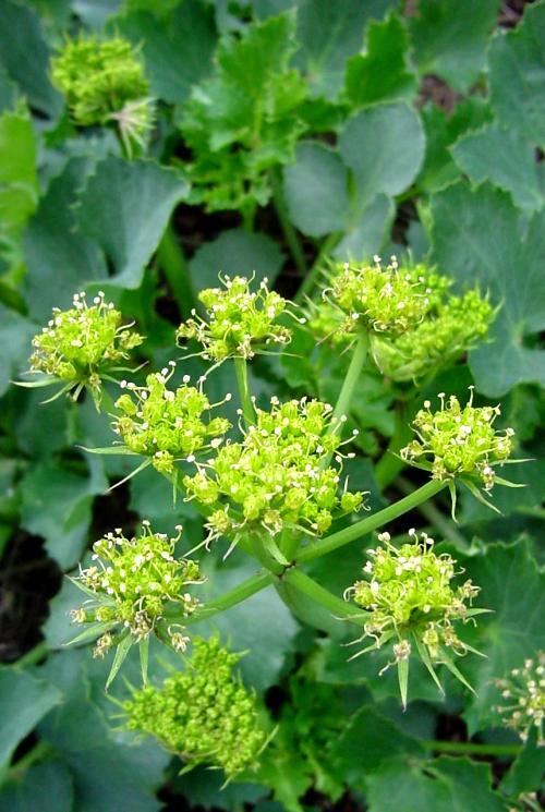 Lomatium lucidum