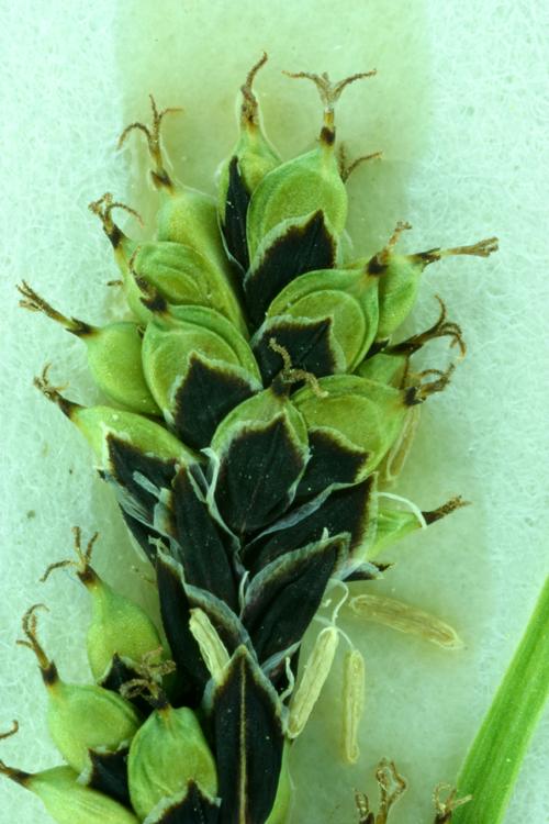 Carex stevenii