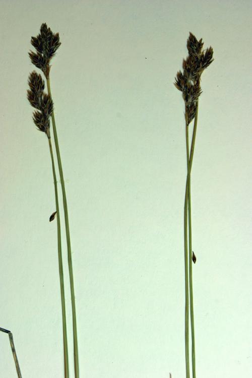 Carex phaeocephala