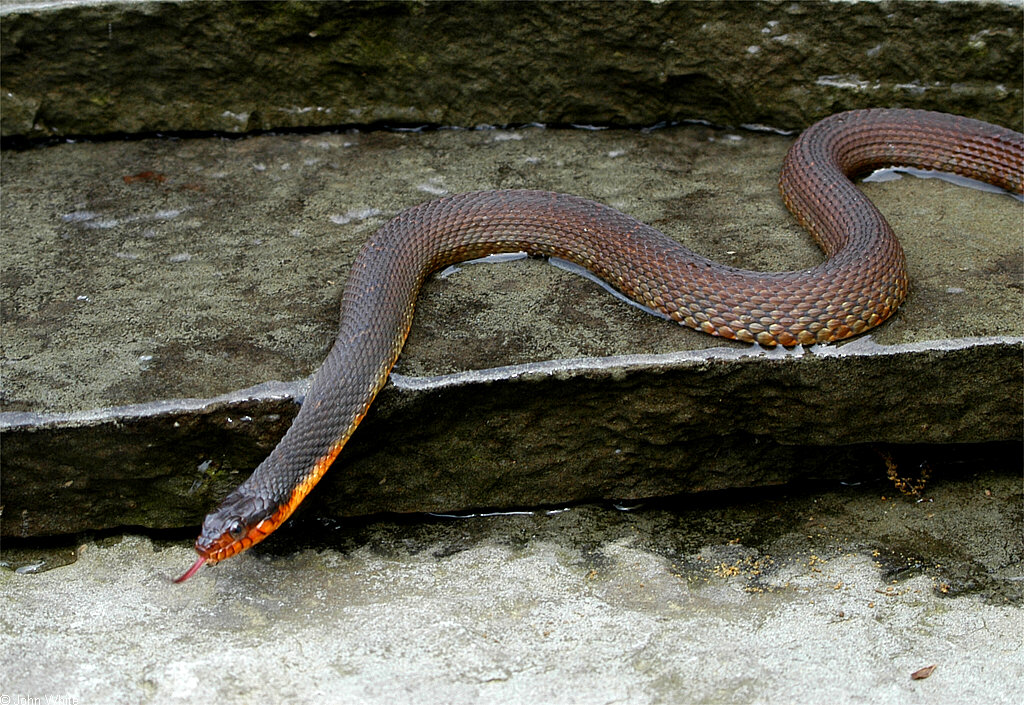 Red Bellied Water Snake Red Belly Water Snake