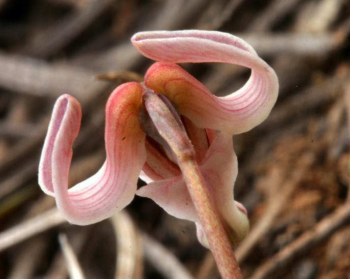 Dicentra uniflora