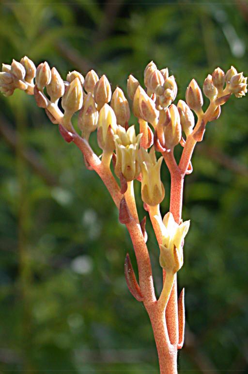 Dudleya abramsii ssp. setchellii