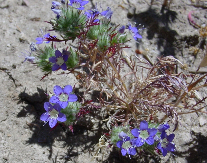Navarretia jaredii