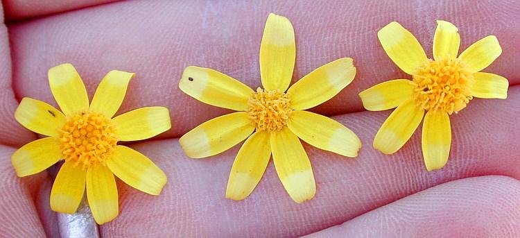 Eriophyllum ambiguum var. paleaceum