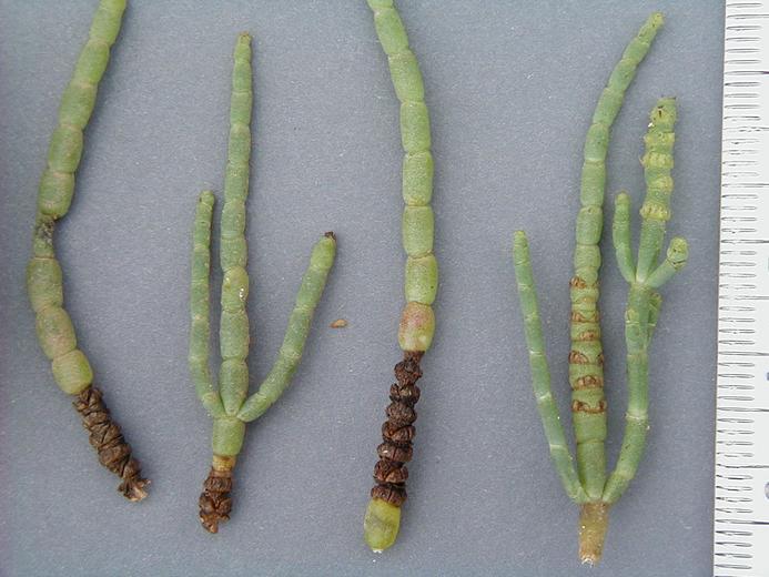 Salicornia subterminalis