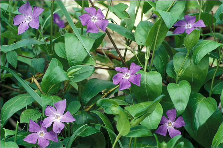 Calphotos vinca major bigleaf periwinkle for Vinca major