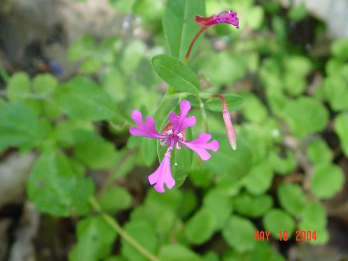 Clarkia concinna ssp. automixa