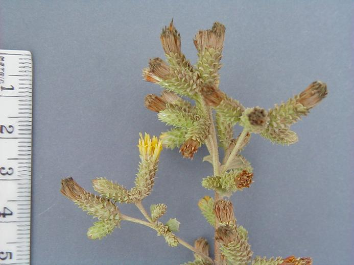 Hazardia squarrosa var. grindelioides