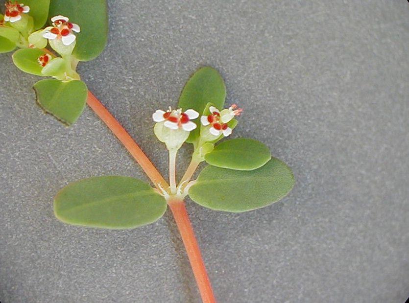 Chamaesyce polycarpa var. polycarpa