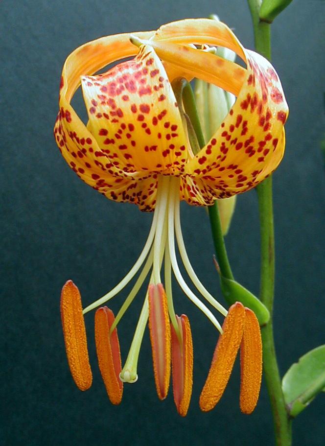 Lilium humboldtii ssp. ocellatum