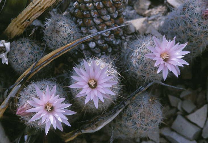 Escobaria tuberculosa image