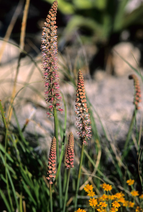 Image of Schoenocaulon texanum